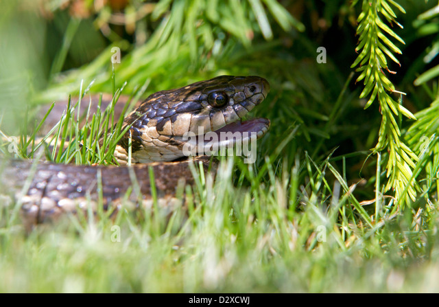 Common Garter Snake Thamnophis Sirtalis Stock Photos
