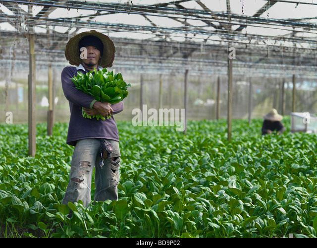 A farm workers harvesting vegetables on an organic vegetable farm. - Stock Image