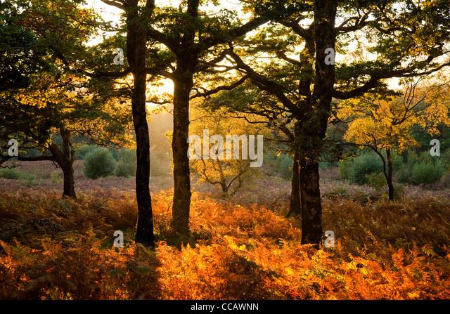 Evening light on autumn oak wood, County Mayo, Ireland. - Stock Image