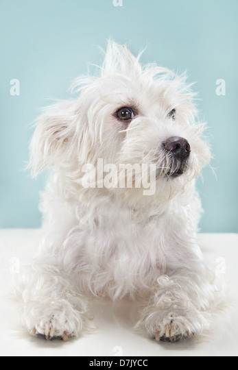 Portrait of white fluffy dog sitting and gazing at camera in studio setting against blue backdrop - Stock Image