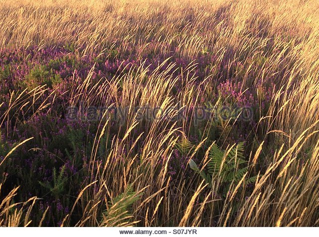 Heather, fern and straw in golden sunset light at Woodbury Common, Devon, UK (unedited) - Stock Image