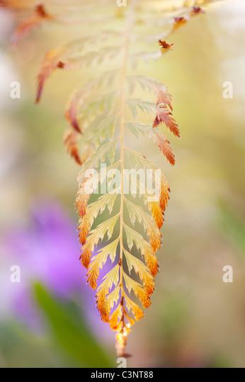 Polystichum Setiferum pulcherrimum 'bevis'. Soft shield fern - Stock Image