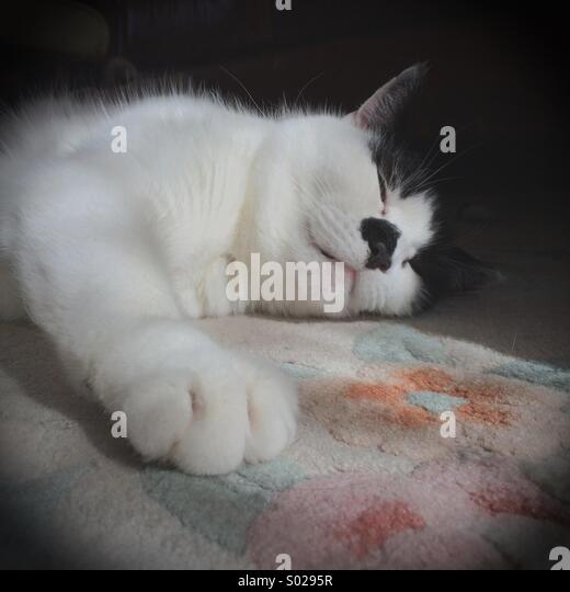 Lazy fluffy black and white cat sleeping  on a sunny patch indoors - Stock Image