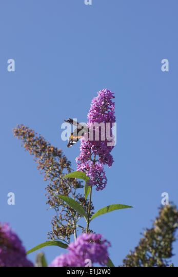 butterfly bush buddleja stock photos butterfly bush. Black Bedroom Furniture Sets. Home Design Ideas