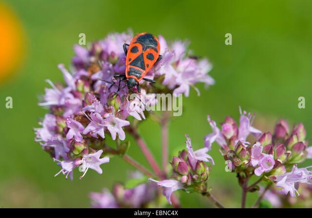 firebug (Pyrrhocoris apterus), sitting on wild marjoram, Germany - Stock Image
