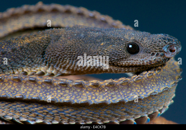 Tubercle Stock Photos & Tubercle Stock Images - Alamy  Tubercle Snake