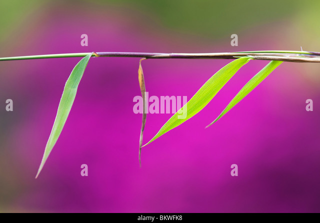 Fargesia nitida. Bamboo leaf abstract against pink background - Stock Image
