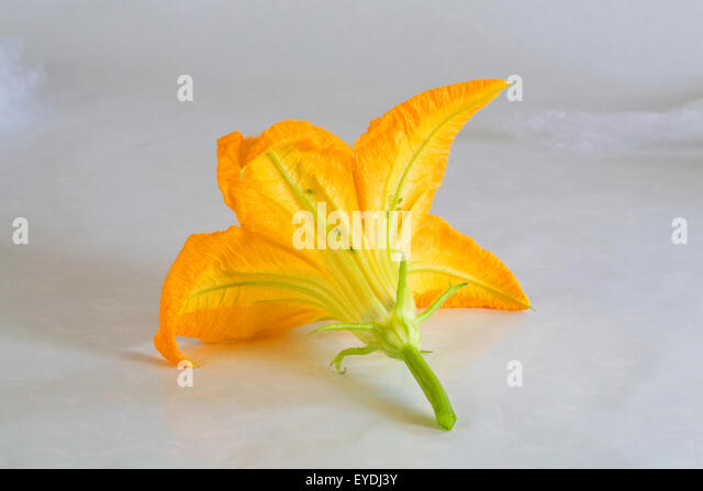 A male blossom or flower of a zucchini squash plant - Stock Image
