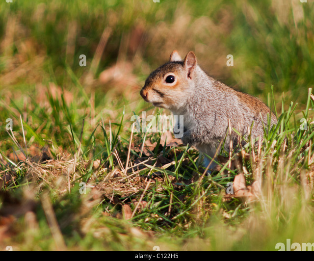 Grey Squirrel (Sciurus carolinensis) sitting enjoying the Evening Sun - Stock-Bilder