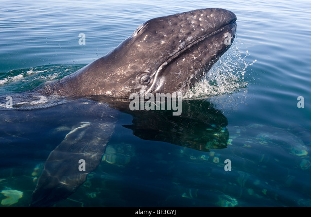 Gray Whale, Grey Whale (Eschrichtius robustus, Eschrichtius gibbosus). Calf with head raised above water. - Stock Image