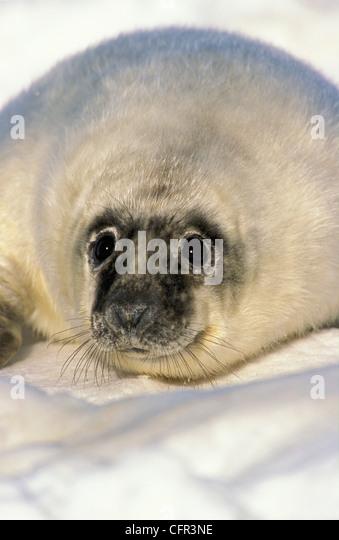Newborn Gray Seal Pup (Halichoerus grypus), Northumberland Strait, Nova Scotia - Stock Image