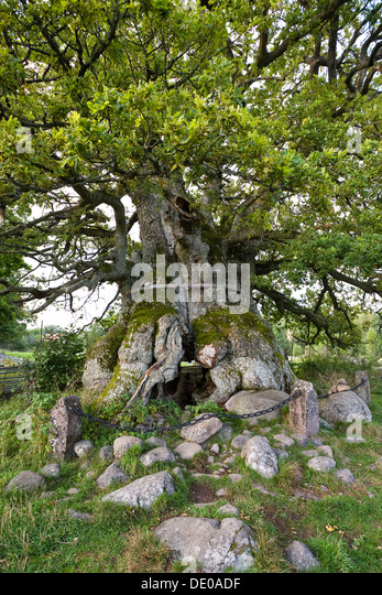 Old oak Kvilleken (Quercus spec.), Norra Kvill National Park, Smaland, southern Sweden, Scandinavia, Europe - Stock Image