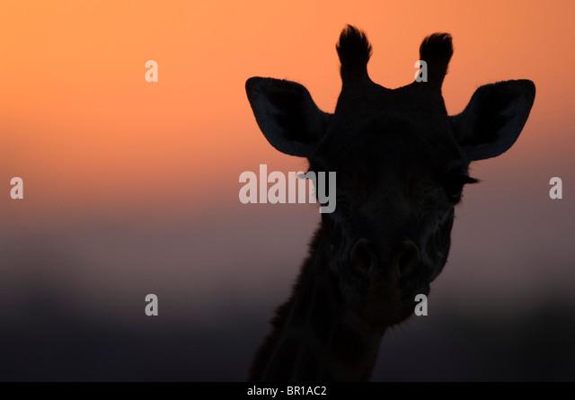Maasai giraffe (Giraffa camelopardalis tippelskirchi), Tarangire National Park, Tanzania - Stock Image