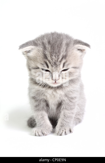 Little british kitten isolated on the white - Stock Image
