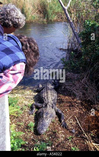 Florida Everglades National Park woman viewing alligator at Anhinga Trail boardwalk - Stock Image