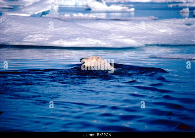 Polar Bear, Ursus Maritimus, in Cumberland Sound, Baffin Island, Nunavut, Canada - Stock-Bilder