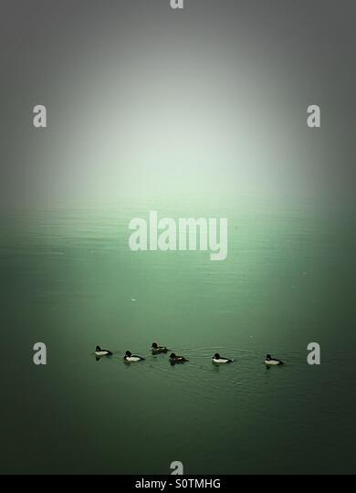 Ducks in fog - Stock Image