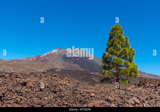 Pico del Teide Mountain with Pine Tree in Parque Nacional del Teide, Tenerife, Canary Islands, Spain - Stock Image