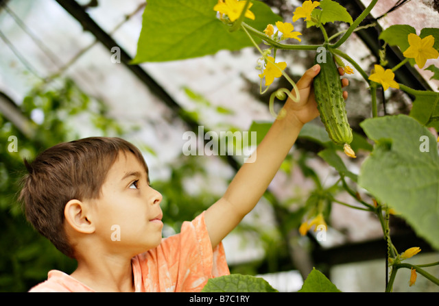 Six year old boy picks cucmber from vine in greenhouse - Stock Image