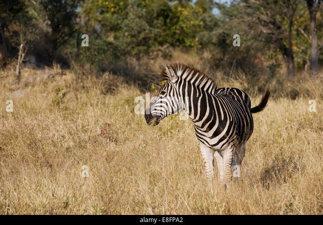 South Africa, Limpopo, Kruger National Park, Zebra in wild - Stock Image