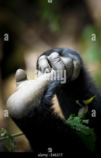 Eastern lowland gorilla (Gorilla gorilla graueri) hand and foot of young gorilla, Kahuzi Biega NP, Democratic Republic - Stock-Bilder