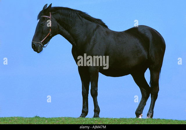 domestic horse (Equus przewalskii f. caballus), against blue sky - Stock Image