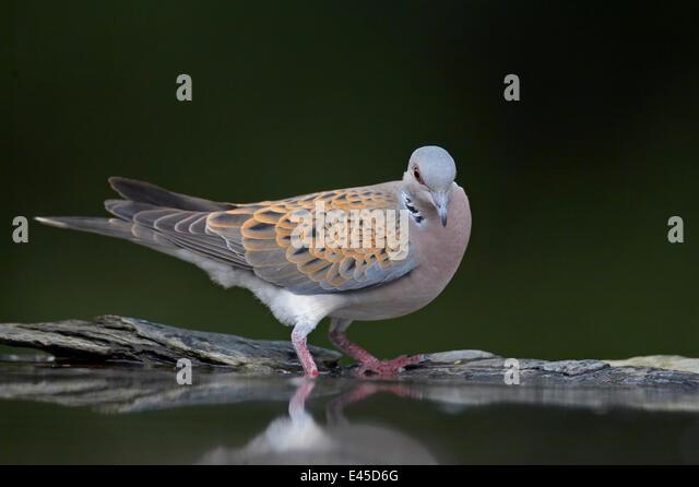 Turtle dove (Streptopelia turtur) at water, Pusztaszer, Hungary, May 2008 - Stock Image