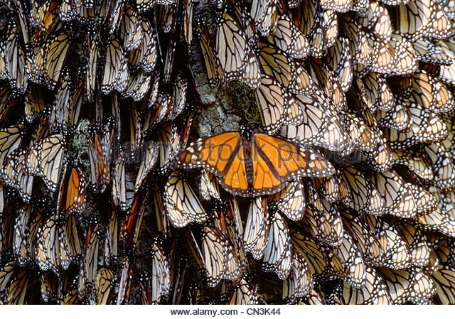 Monarch butterflies, Mexico - Stock Image