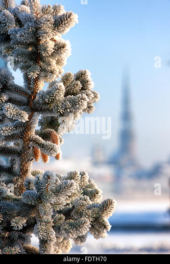 Christmas tree with brown cones in hoarfrost against the background a panorama of Riga on a sunny winter day. Riga, - Stock Image