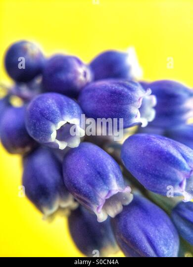 Close up macro photo of a blue Grape Hyacinth flower, also known as Muscari Armeniacum against a yellow background. - Stock Image