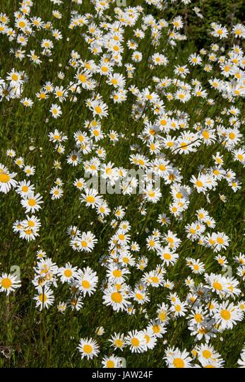 White daisies growing wild - Stock Image
