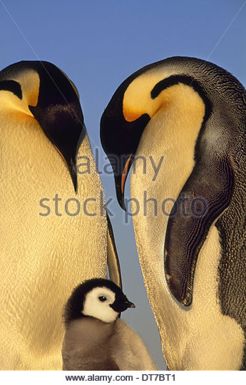 Emperor penguin family Aptenodytes forsteri two adult birds with a young chick Antarctica Antarctica - Stock Image