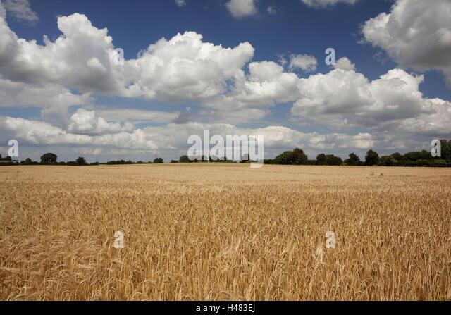 Germany, Schleswig - Holstein, region angling, grain-field, - Stock Image