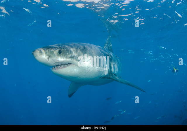 Carcharodon carcharias stock photos carcharodon for Guadalupe island fishing