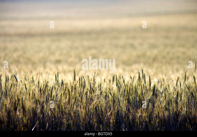 Creative view of Wheat field, Overberg, Western Cape , South Africa - Stock Image