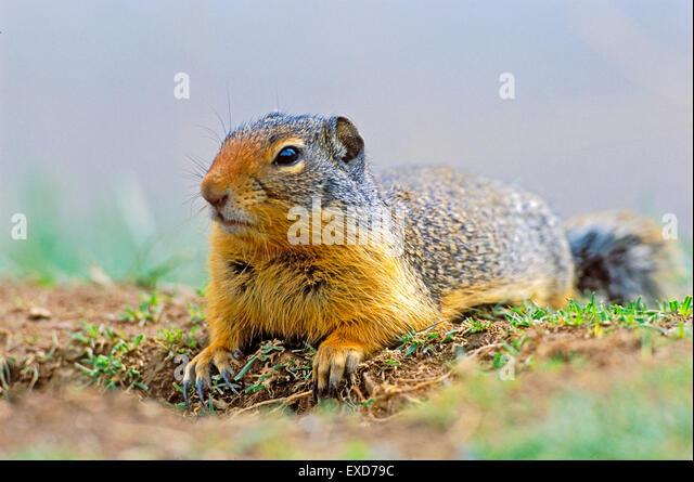 Columbian Ground Squirrel laying in grass at den site. - Stock-Bilder