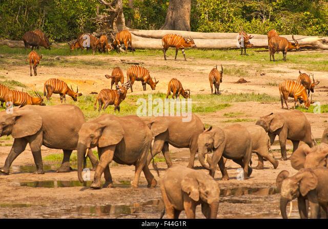 African Forest Elephants (Loxodonta africana cyclotis) moving past Bongo Antelope (Tragelaphus euryceros) herd. - Stock-Bilder