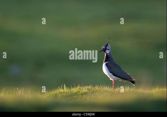 Lapwing (Vanellus vanellus)adult female in upland breeding habitat Scotland, Great Britain. - Stock-Bilder