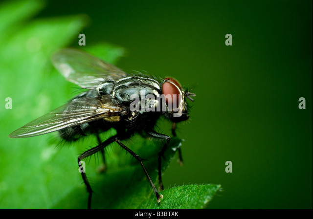 dark fly - Stock Image