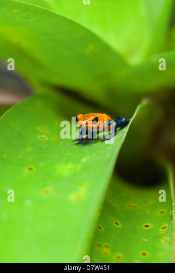 Poison Dart Frog, named due it excreting a poison that paralyses - used on native arrows; Arenal, Alajuela Province, - Stock-Bilder