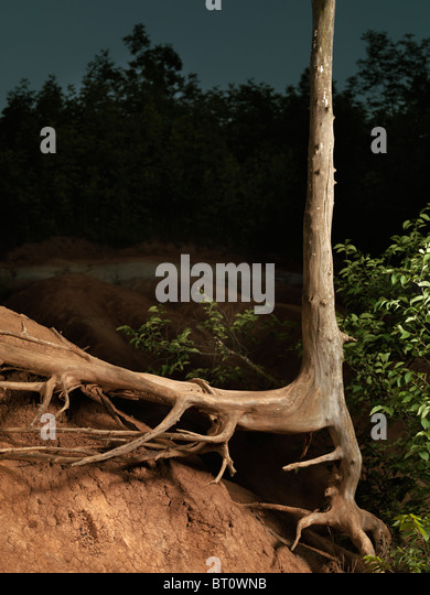 Artistic photo of a dead tree with dried roots - Stock Image