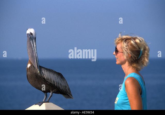 FLORIDA Brown Pelican Woman Watching up close - Stock Image