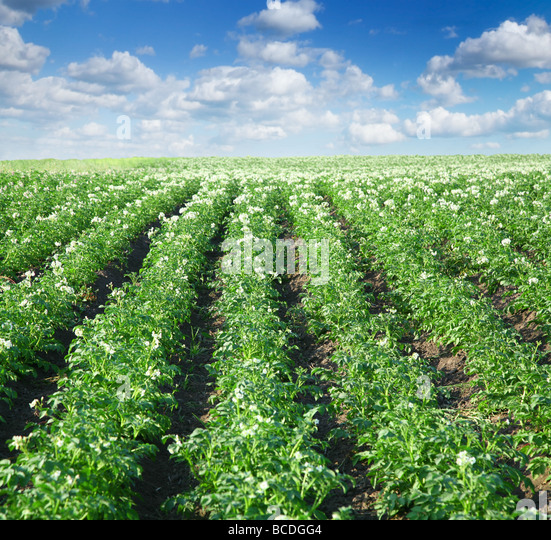 bushes of potato are in the field - Stock Image