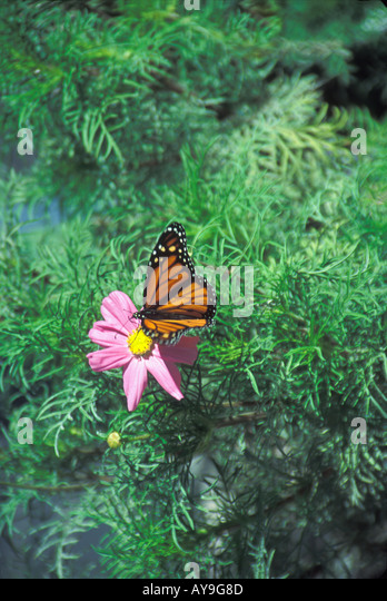 Monarch Butterfly on flower in Solvang California The beautiful Monarch butterfly (Danaus plexippus) iwell-known - Stock Image