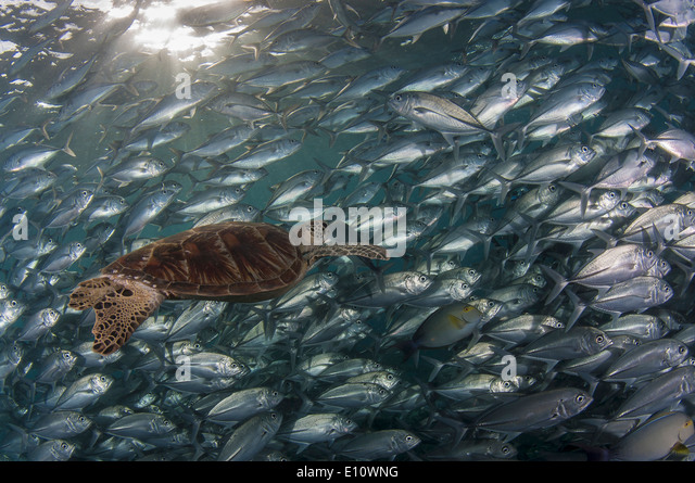 A green sea turtle covered by Big-eye Trevally, Malaysia (Chelonia mydas), (Caranx sexfasciatus) - Stock Image