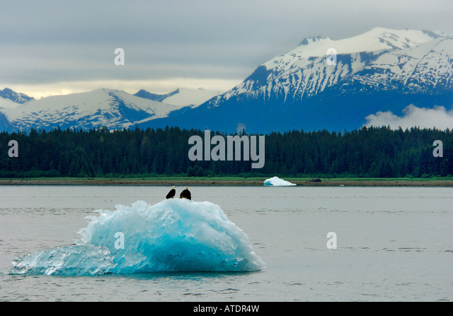 Bald Eagle Haliaeetus leucocephalus on iceberg Inside Passage Alaska Pacific Ocean - Stock Image