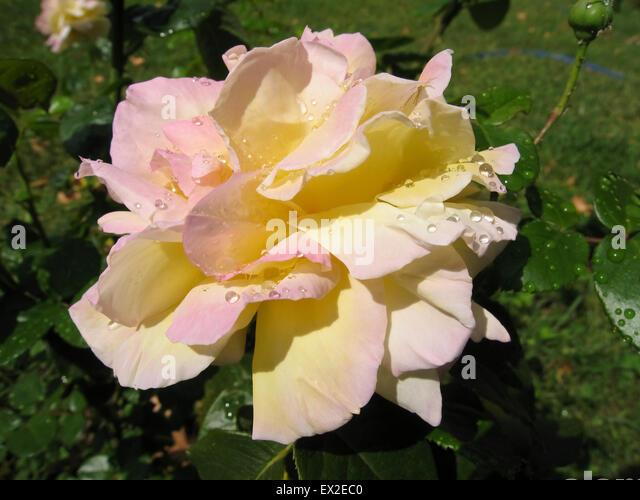 one drop pink flower stock photos one drop pink flower. Black Bedroom Furniture Sets. Home Design Ideas