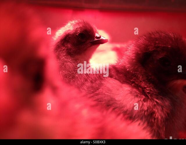 Chick under heat lamp - Stock Image
