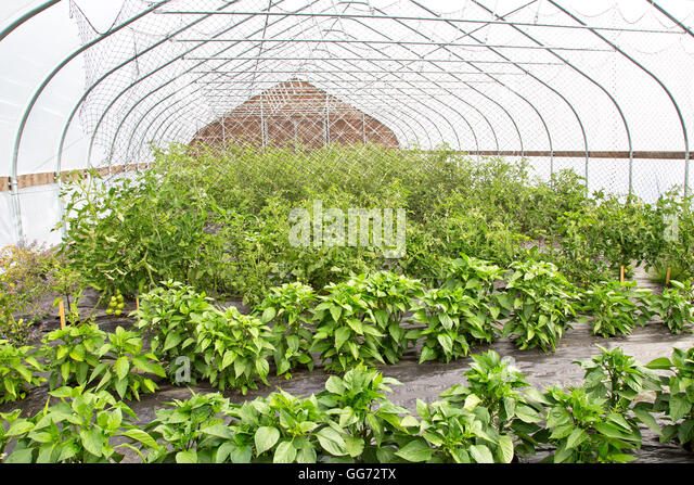 Eggplant  & tomatoes growing in tunnel. - Stock Image