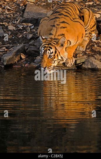 Tiger drinking from a water hole in Ranthambhore national park, India - Stock-Bilder